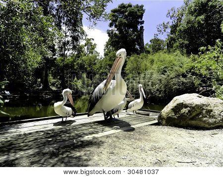 Australian Pelicans Preening