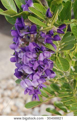 Purple Texas Mountain Laurel