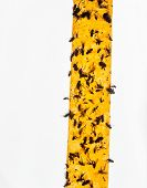 Yellow Flypaper (fly Ribbon Or Fly Strip) With Dead Flies On It. poster