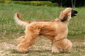 picture of hirsutes  - Afghan Hound running on road side view - JPG