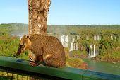 Raccoon-like Creatures Called Coati Found At Iguazu Falls National Park, Foz Do Iguacu, Brazil, Sout poster