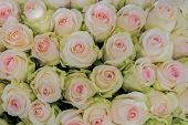 Beige Roses Background. White Roses Horizontal Seamless Pattern. White Roses Arrangement. A Huge Bou poster