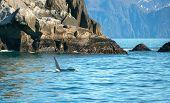 Orca Killer Whale In Resurrection Bay In Kenai Fjords National Park In Seward Alaska United States poster