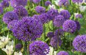 Giant Onion (allium Giganteum) Blooming. Field Of Allium / Ornamental Onion. Few Balls Of Blossoming poster