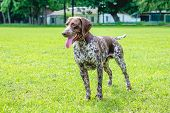 Dog Of Breed German Shorthaired Pointer  In Full Growth Standing On The Grass poster