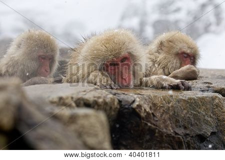 Sad Snow Monkey