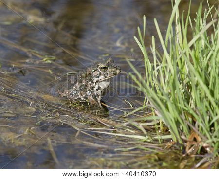 Male Green Frogs In The Spring Pond.