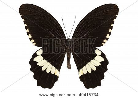Butterfly Species Papilio Polytes Alphenor