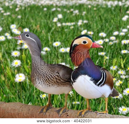 Mandarin Ducks.