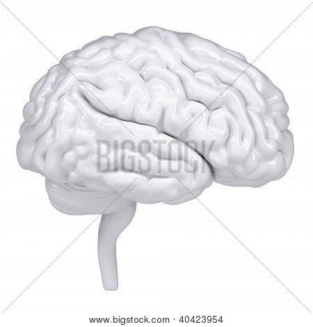 3D White Human Brain. A Side View