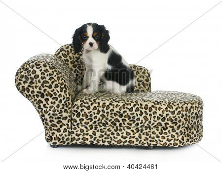 dog sitting on couch - cavalier king charles spaniel puppy sitting on dog couch isolated on white background