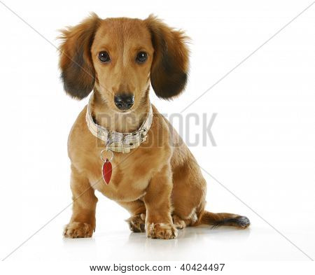 puppy wearing collar and dog tag - long haired dachshund sitting looking at viewer