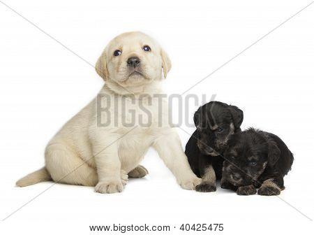 Labrador Retriever And Miniature Schnauzer Black Puppies