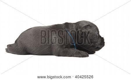 Schnauzer Miniatura negro cachorro