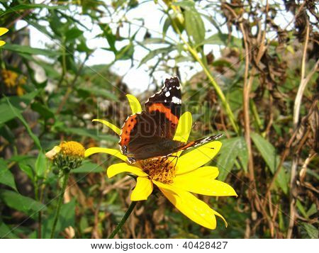 butterfly of vanessa atalanta sitting on the flower