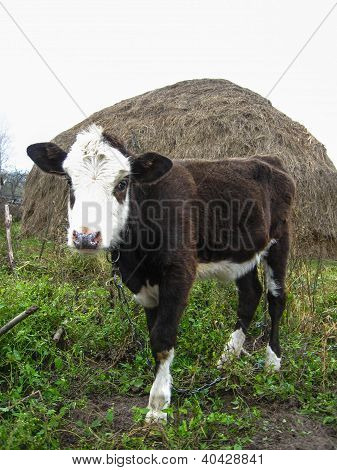 calf standing on the field