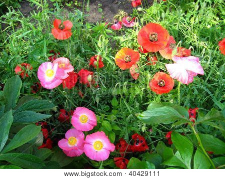 beautiful red and pink poppies