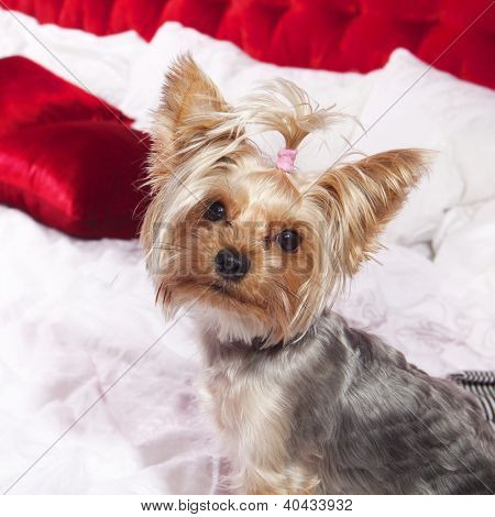 Yorkshire terrier sits on bed and looks in camera