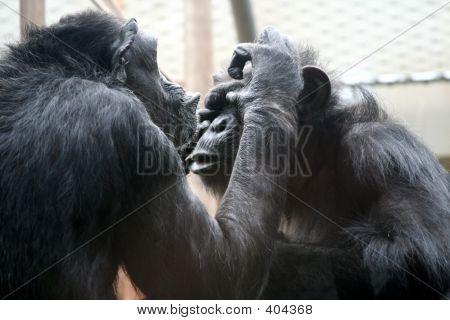 Schimpansen sozialisieren