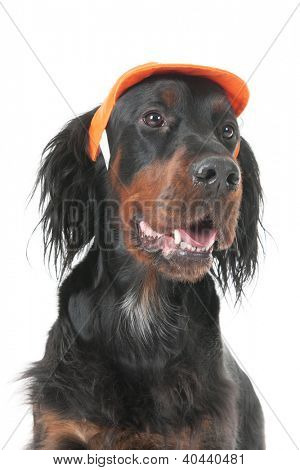 Funny dressed dog as Dutch soccer supporter