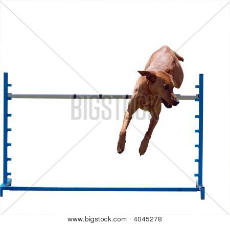 Agility Dog Over A Jump
