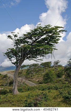 Wind-bent Tree In Fireland (tierra Del Fuego), Patagonia, Argentina