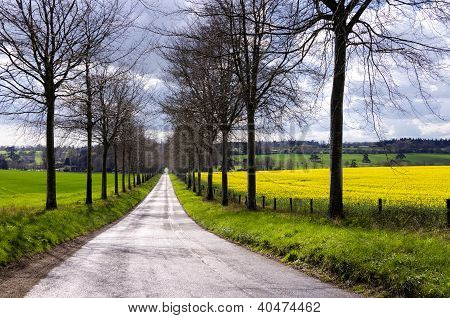 Avenue Through Rapeseed Fields