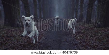 Three white dogs running