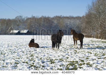Horses In Snowy Winter.