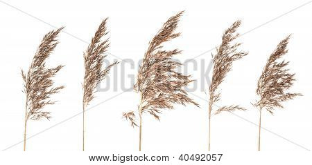 Dried Bush Grass Panicles On White Background