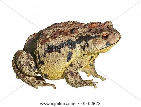 Kröte (Bufo Gargarizans)