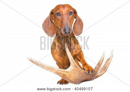 Red Dachshund With Hunting Trophy On Isolated White