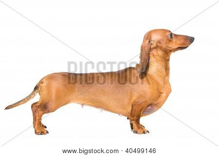 Red Dachshund On Isolated White