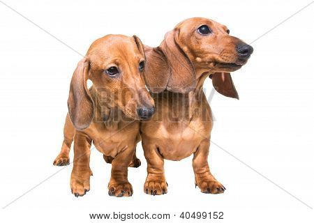 Two Red Dachshund Dogs On Isolated White