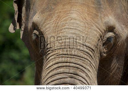 Elephant Forehead Portrait