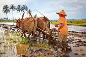 EAST JAVA, INDONESIA- JANUARY 9: Javanese paddy farmer plows the fields the traditional way in prepa