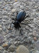 Black Beetle on Cement