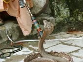 foto of king cobra  - enchanted king cobra with trainer rishikesh india - JPG