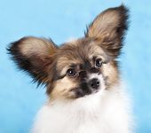 pic of epagneul  - papillon or Butterfly Dog - JPG