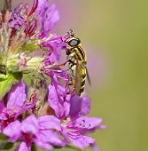 Hoverfly Pollinating  Flower