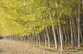stock photo of vaquero  - Poplar Forest in Fuente Vaqueros - JPG