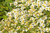 stock photo of feverfew  - closeup of the flowering feverfew - JPG