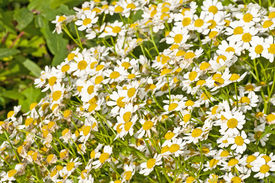 picture of feverfew  - closeup of the flowering feverfew - JPG