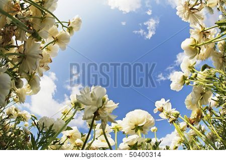 The field of blossoming white buttercups photographed by a lens