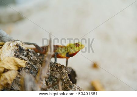 tropical chameleon wild life animal in nature