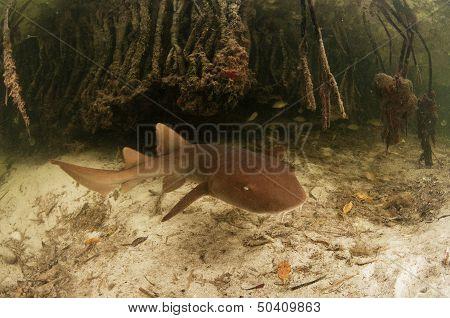 Juvenile Nurse Shark