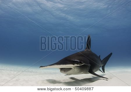 The Great Hammerhead Shark