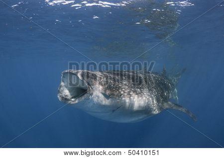 Sunlit Whale Shark
