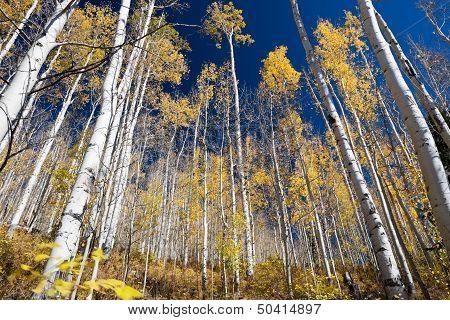 Aspen Trees In Fall Colorado Mountains