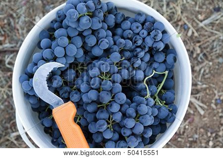 Bucket of grapes